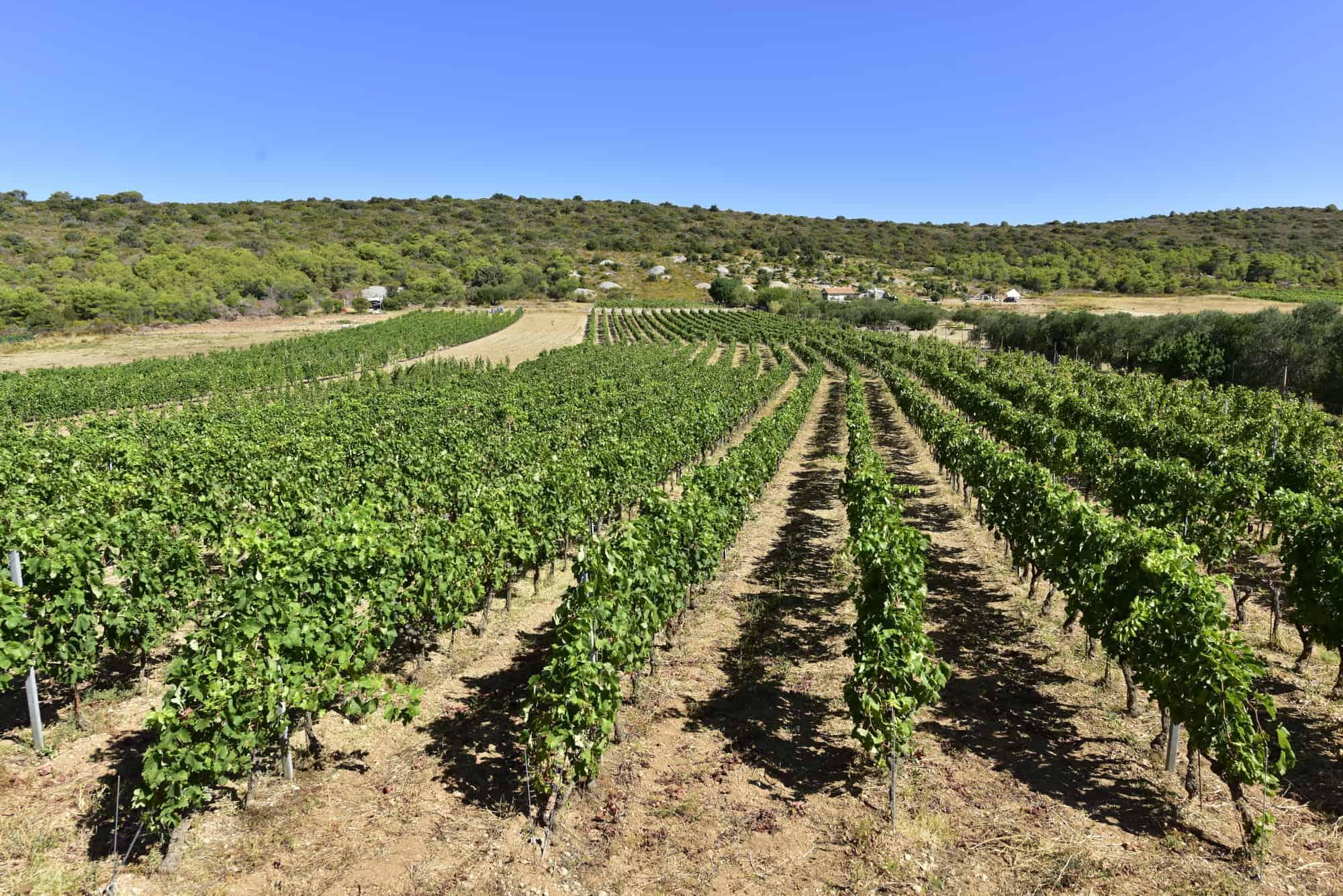 ljubisce vinograd